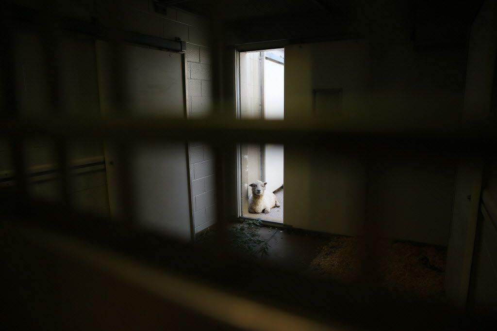 A domestic sheep recovers inside the A.H. Meadows Animal Health Care Facility at the Dallas Zoo in Dallas Tuesday January 10, 2016. The zoo hospital is equipped with a pathology lab, operation room, radiology lab and quarantine wards. (Andy Jacobsohn/The Dallas Morning News)