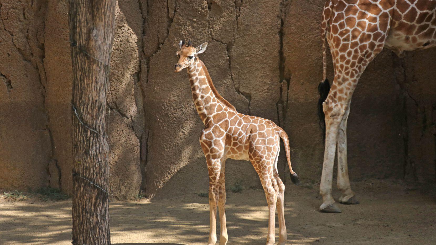 Witten es la nueva jirafa del zoológico de Dallas. Nació el 25 de abril. LOUIS DeLUCA