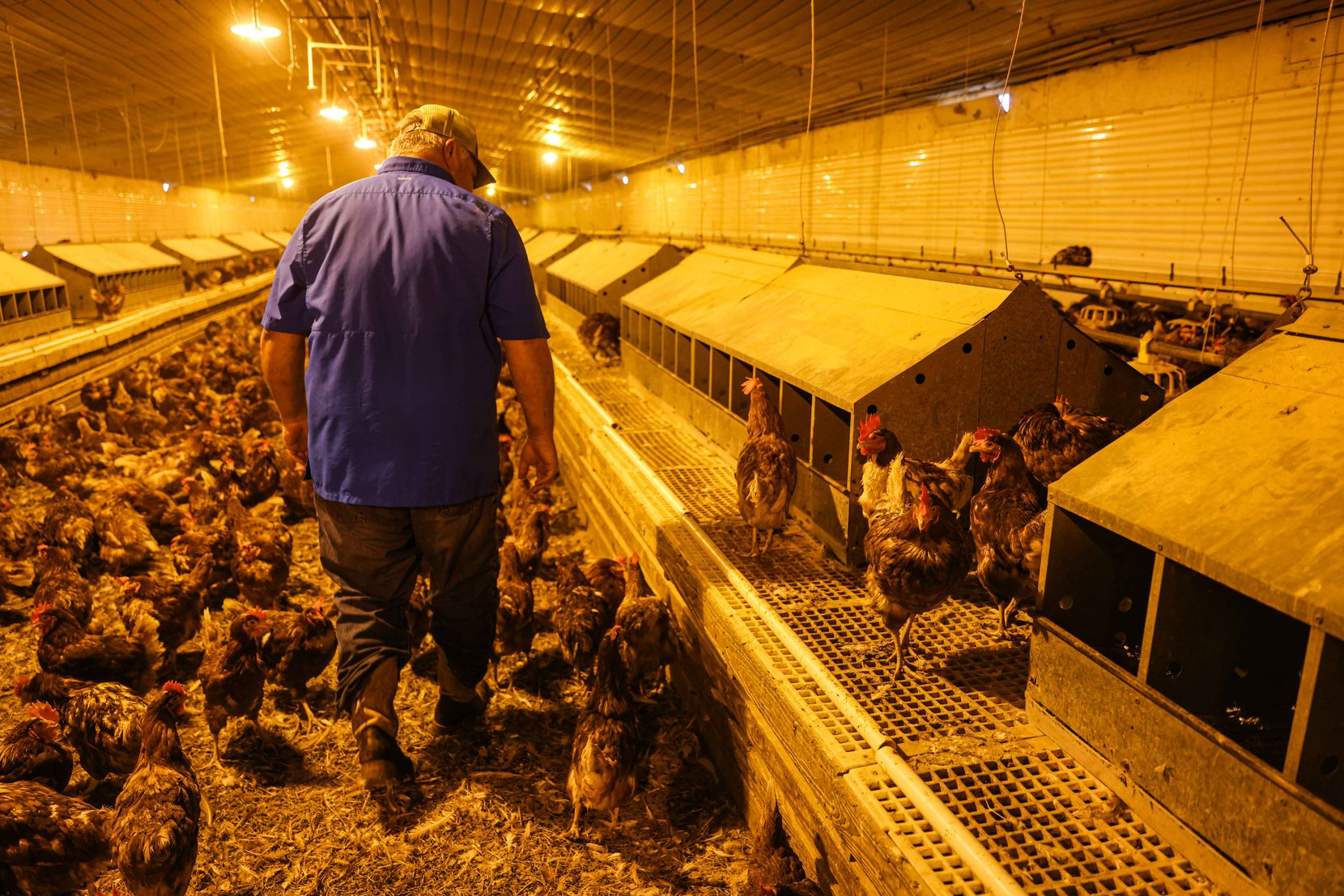 Sam Miller walks around the barn at Cedar Ridge Egg Farm. Miller lost around 1,000 hens during the winter storm that hit Texas in mid-February, and many of the remaining hens stopped laying eggs.