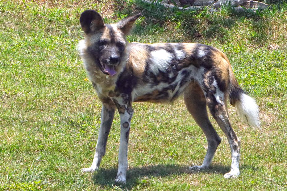 Ola, an 8-year-old female African painted dog, spends her first day in her new habitat on Wednesday. Ola and two other painted dogs, who are 2-year-old brothers, are the Dallas Zoo's first African painted dogs since 1962.