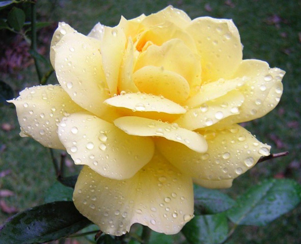 Organically grown roses have edible petals.