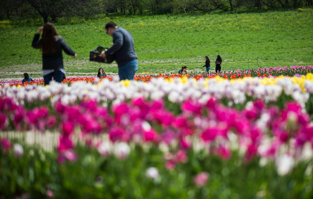 The tulips at Poston Gardens can be picked by visitors at a price of $3 a flower. A third of those proceeds go toward scholarships for Daymark Living residents.