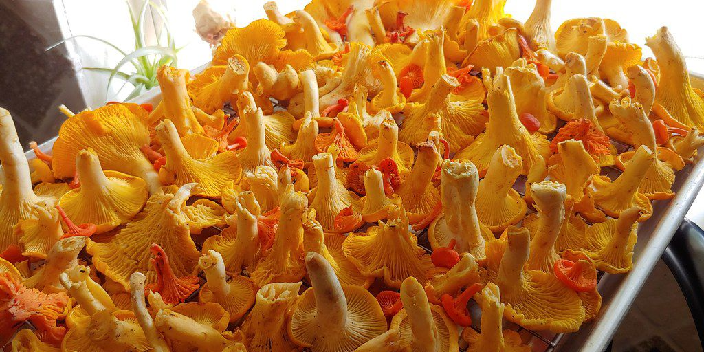 A mix of edible chanterelle species (Cantharellus spp.) that have been lightly brushed and rinsed are the products of a successful mushroom foraging foray.