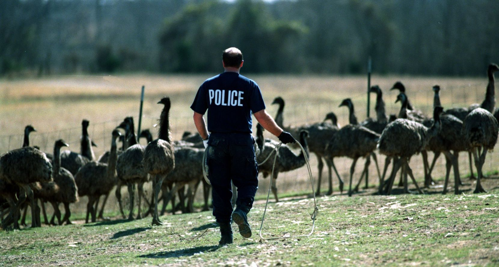 A Red Oak officer attempts to lasso emaciated emus in February 1999.