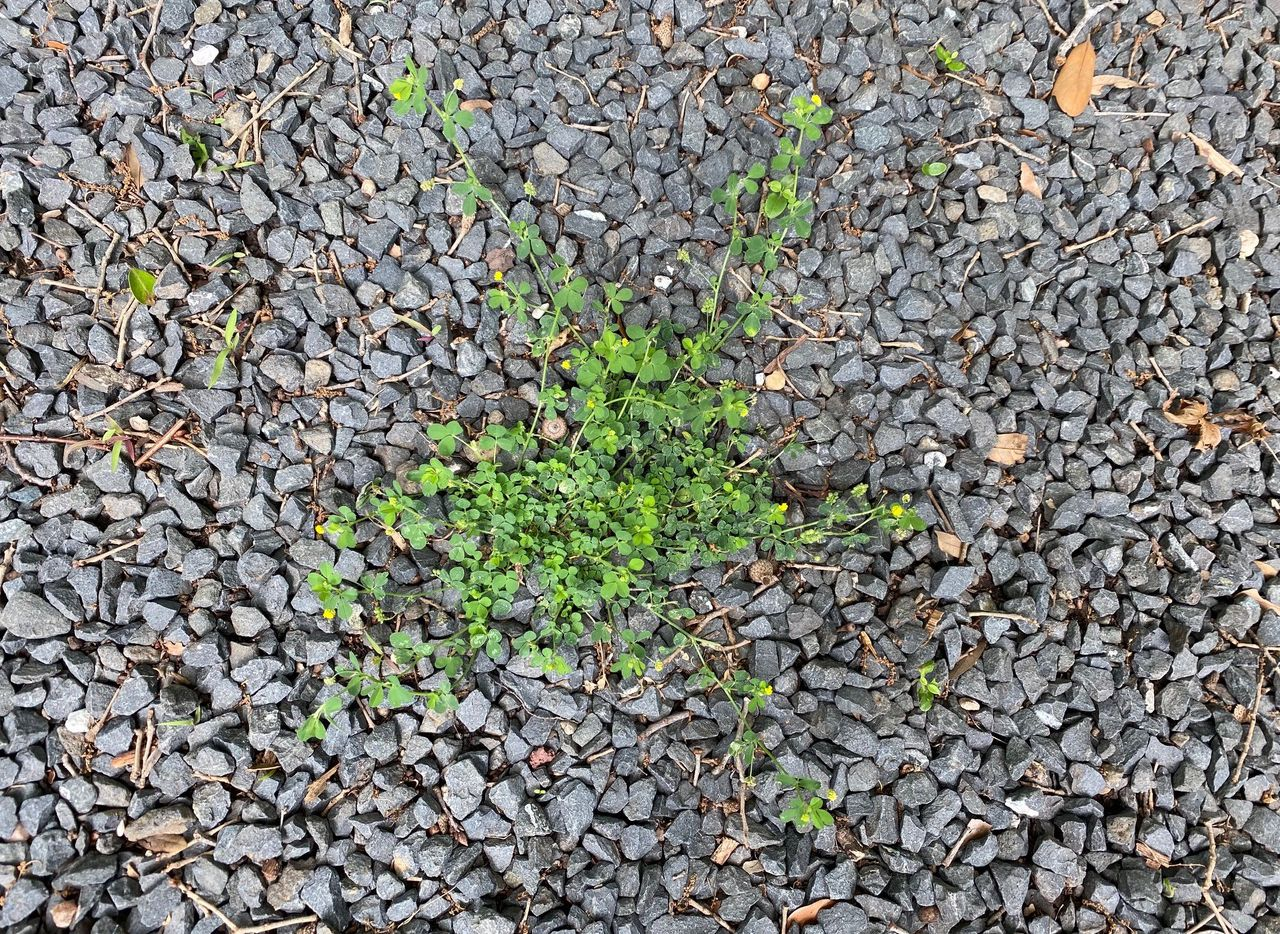 Weeds in gravel can easily be controlled with vinegar herbicides.
