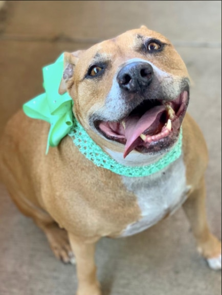 Lovey is a 10-year-old  femaleStaffordshire Bull Terrier mix.