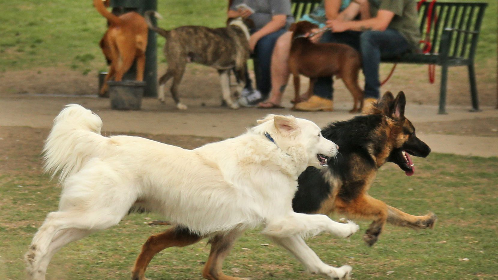 There is plenty of action at White Rock Lake dog park in Dallas, photographed on Saturday, April 1, 2017.