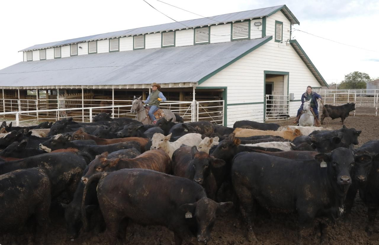 """Colby Hunt (left) and April Bonds round up cattle on the Bonds Ranch in Saginaw. """"Last I counted, I think we have cattle in 30 Texas counties and 10 states,"""" Pete Bonds says."""
