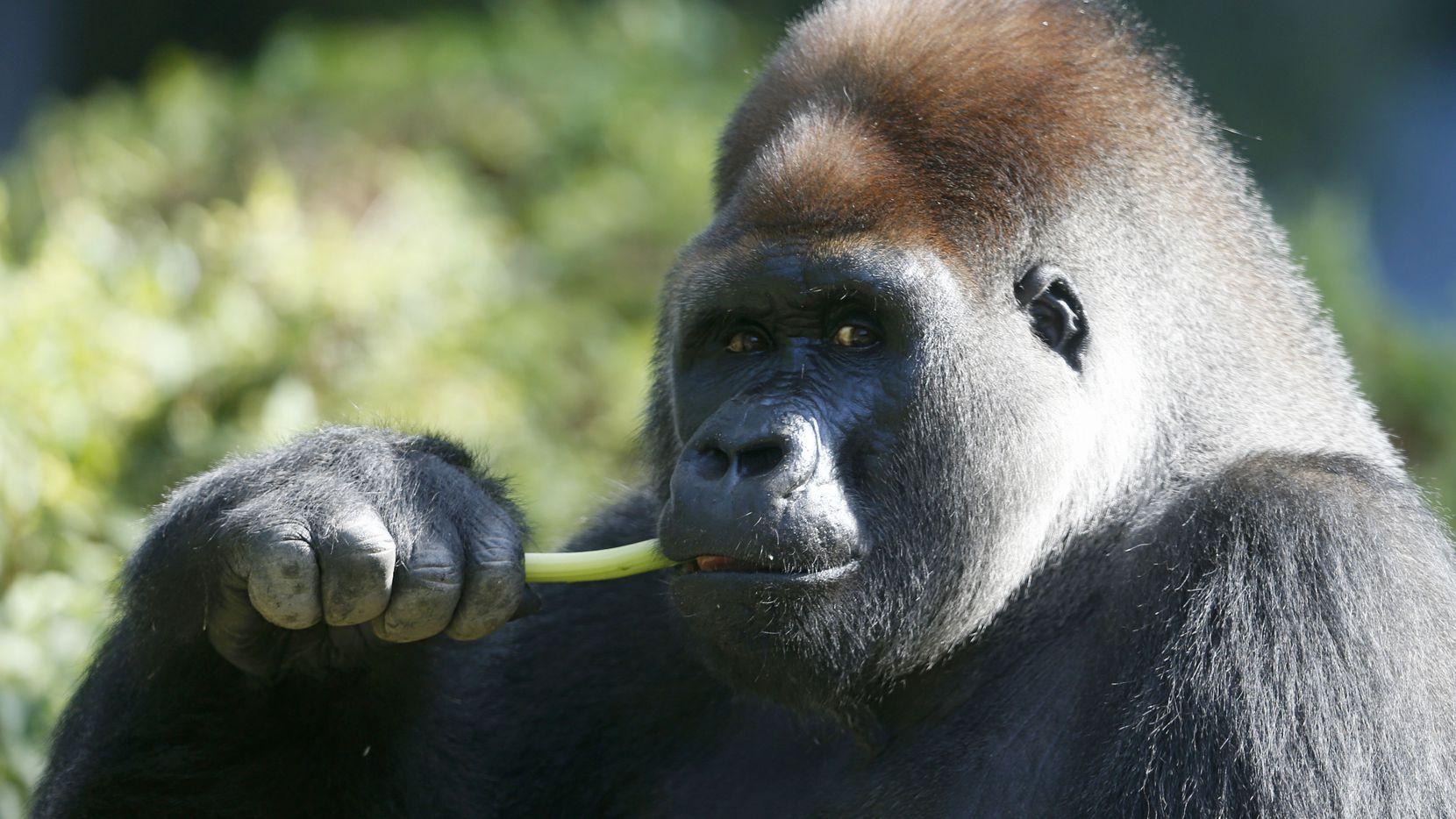 Subira eats celery at the Dallas Zoo on July 5, 2018.