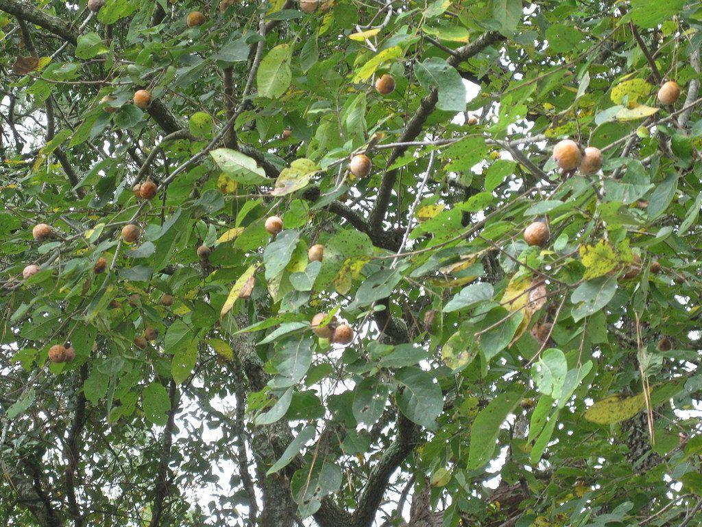 American persimmon
