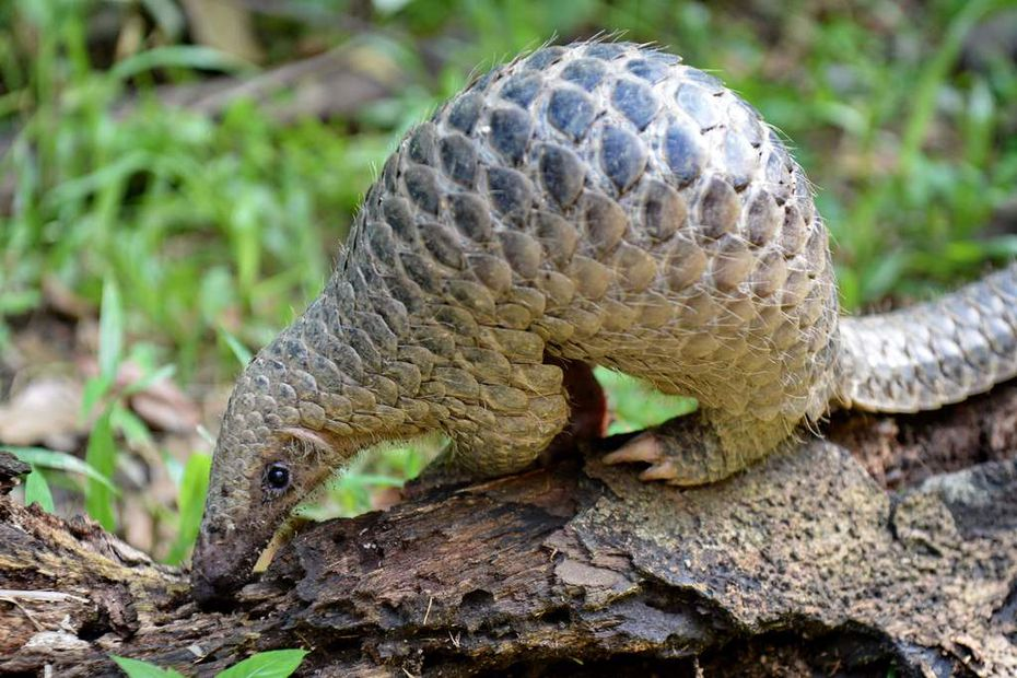 In this June 30, 2017, photo a juvenile Sunda pangolin feeds on termites at the Singapore Zoo. Chinese scientists said on Feb. 7, 2020, that the scaly anteater may have been a host to the COVID-19 coronavirus that has caused a pandemic.