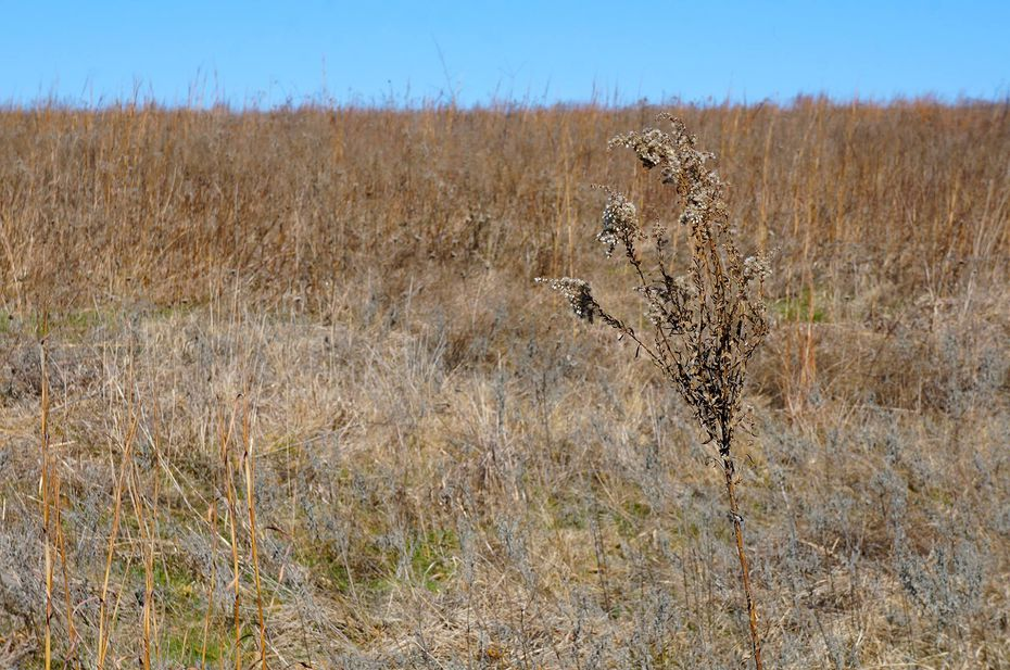 Invasive plant species have overtaken the Flower Mound, which has led to the town conducting its first prescribed burn.
