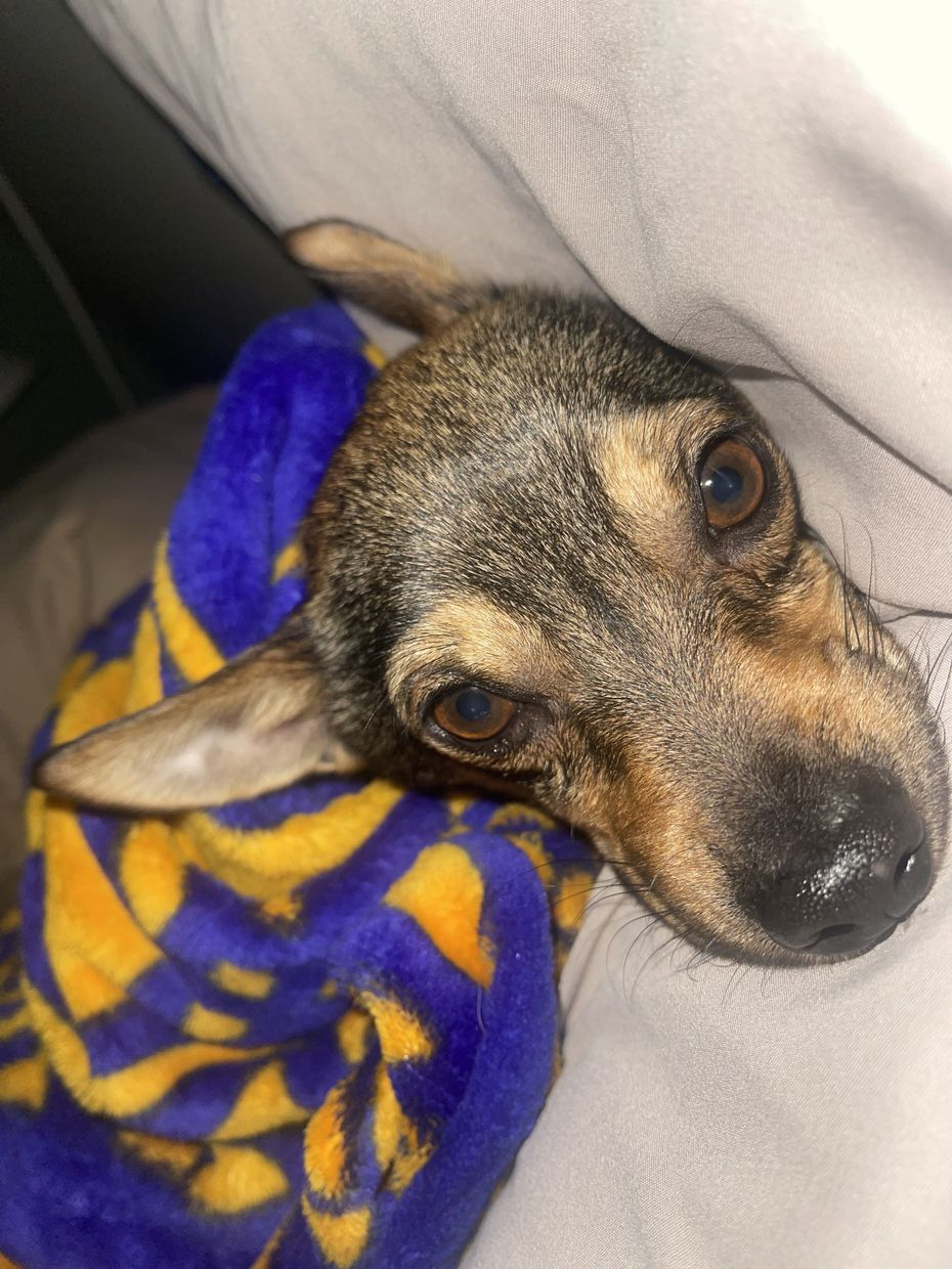 Murphy, who is part miniature pinscher, part German shepherd, was reunited with his Arlington family after getting lost in northern Minnesota.