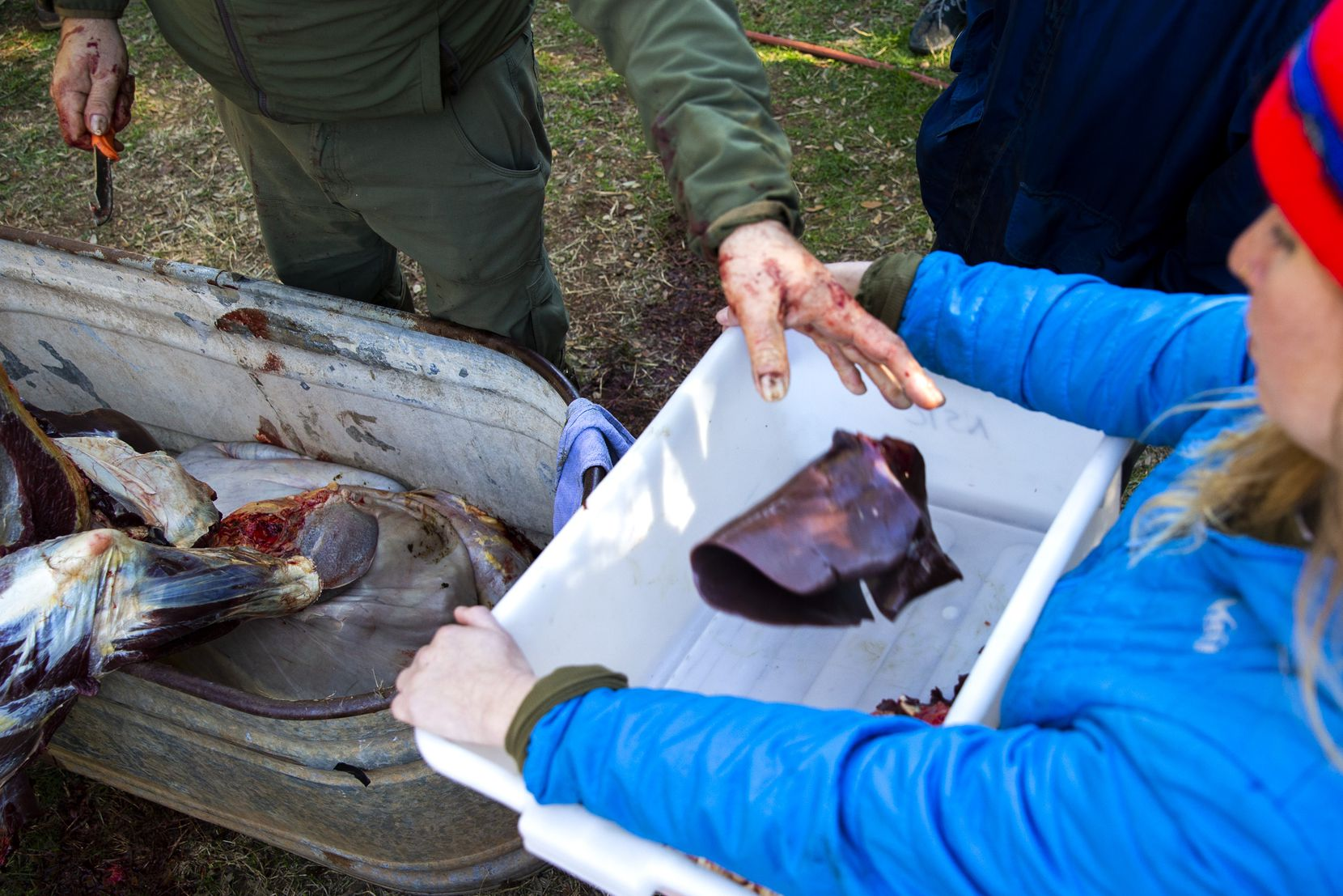 Butcher Jesse Griffiths (left) places a bison liver into a bin held by Tracey Heymans during a daylong bison field harvest event at Roam Ranch in Fredericksburg, Texas, on Sunday, Jan. 19, 2020.