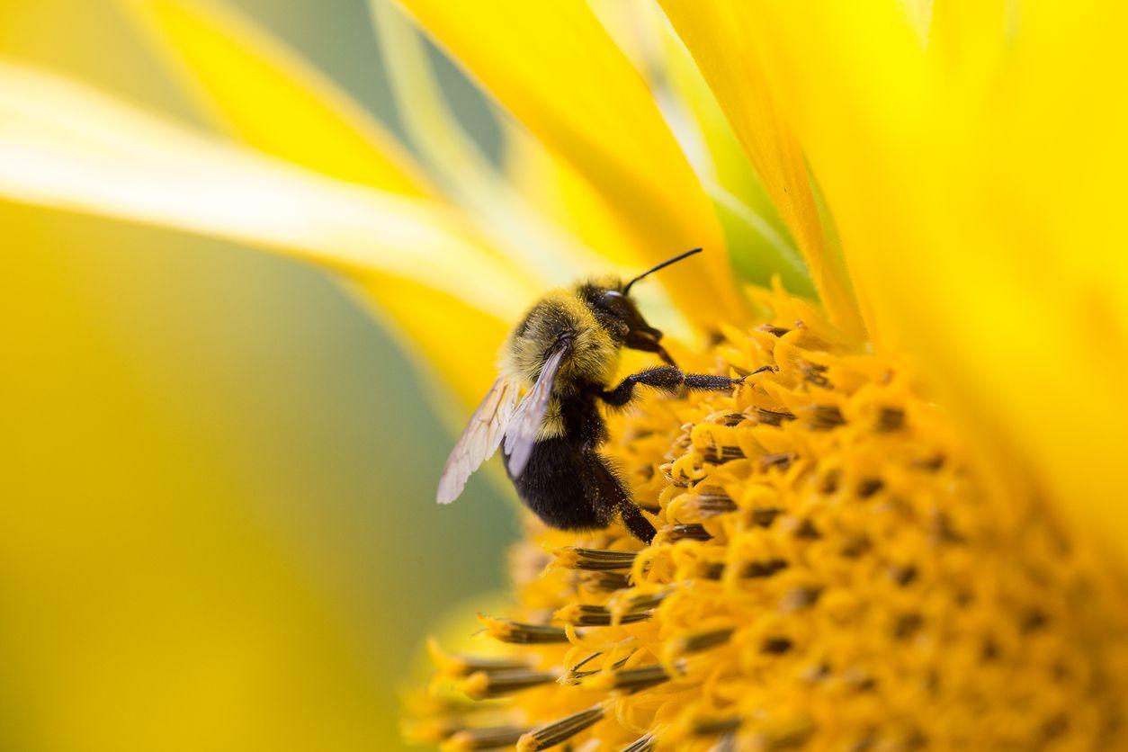 Manejar abejas podría ayudar a personas a atenderse estrés postraumático.