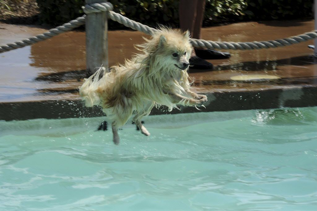 Flying pomeranian Louie shows off his best diving skills at Hawaiian Falls in Garland.