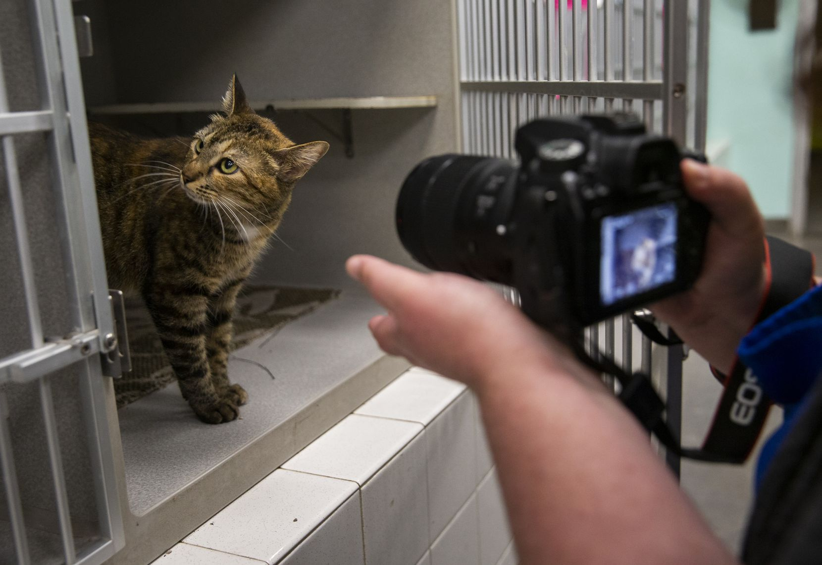 Megan Padgett, Dallas Animal Services coordinator, takes a photo of Jenny (A1068801) at Dallas Animal Services on Thursday as part of creating an online profile for the cat. The shelter is relying on online fosters and adoptions as the public is no longer allowed into the building as a result of the coronavirus pandemic.