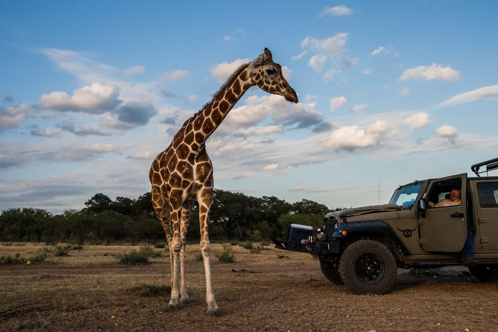 A giraffe named Buttercup moves closer to Buck Watson, a hunting guide, as he looks on from a vehicle at the Ox Ranch in Uvalde, Texas, Aug. 15, 2017. Hunters are not allowed to shoot giraffes at the ranch.