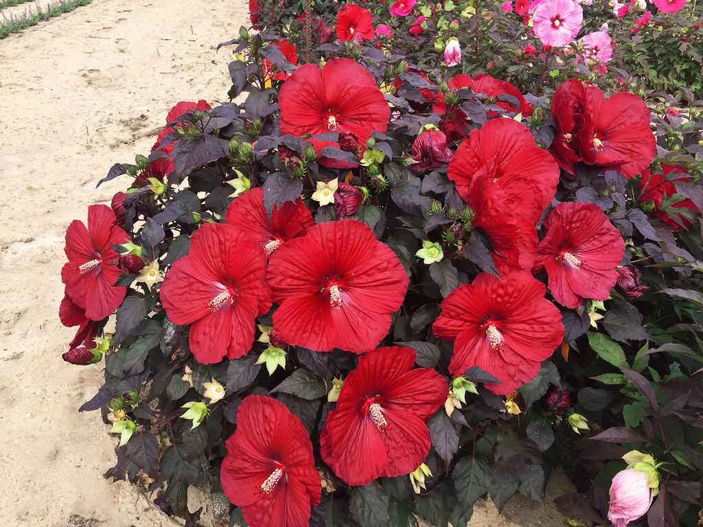 Summerific 'Holy Grail' Rose Mallow Hibiscus hybrid  from Proven Winners