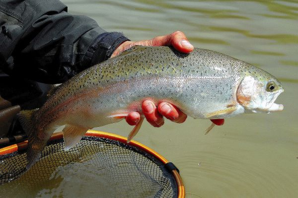 Rainbow trout can be caught with a wide assortment of equipment and bait. Light tackle is recommended.