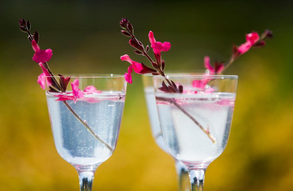 Gin and elderflower tonic drinks garnished with Autumn sage, which is edible. Photographed at the Dallas Arboretum.