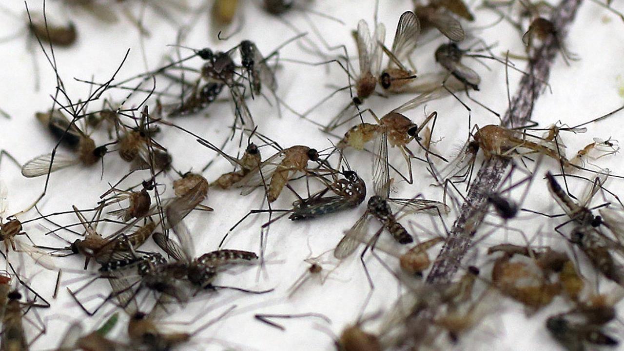 Muestras de mosquitos que son analizadas en laboratorios del area para verificar si portan el virus del Nilo Occidental. (DMN)