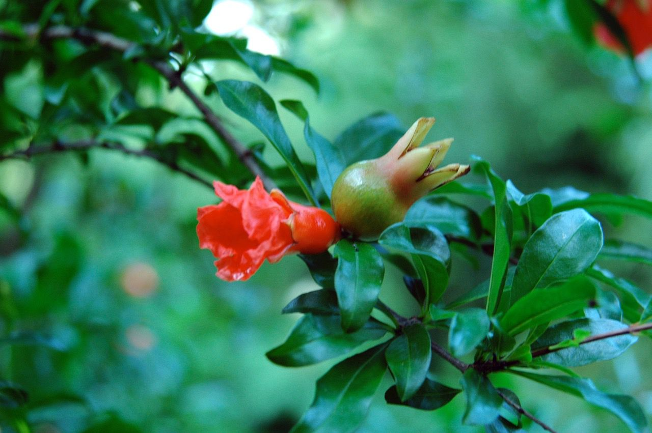 The flowers and fruit of pomegranate are edible.