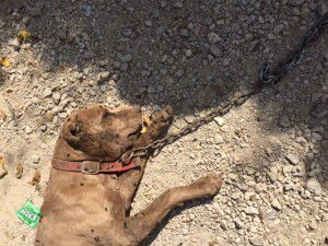 Both ears of this pit were cut into the skull and his back haunches were dotted with puncture wounds.