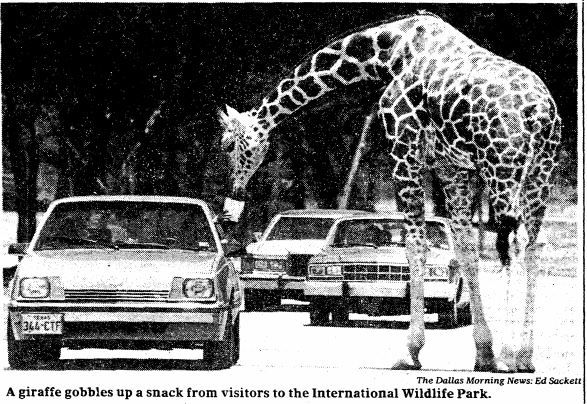 Visitors were able to feed all kinds of animals from their cars, like this giraffe in a 1984 DMN file photo.
