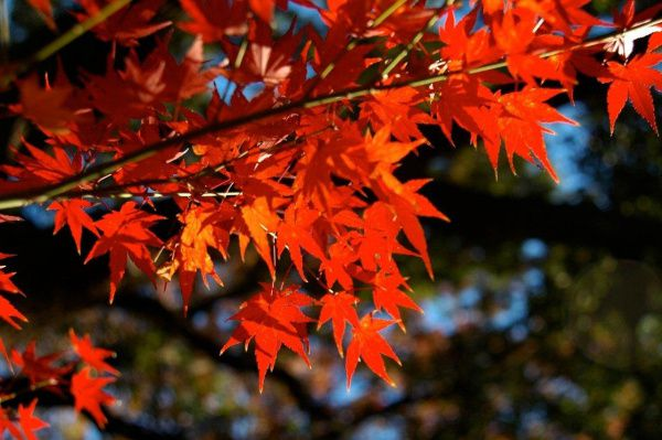 The species Japanese maple from many hybrids are bred tolerates more sun than the hybrids. Its leaves are emerald green in spring and summer, but it turns bright red in fall.