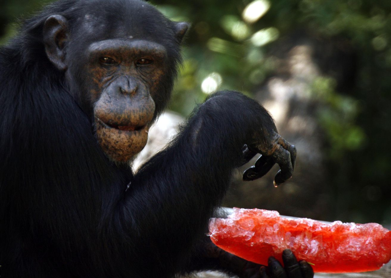 Chloe, a chimpanzee, ate a frozen treat at the Dallas Zoo as a way to stay cool in July 2006.
