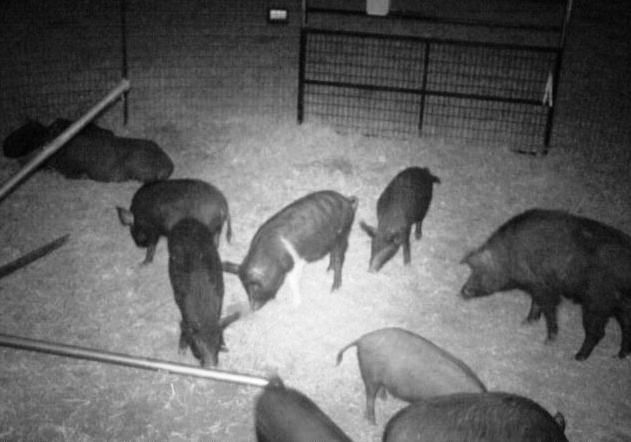 Feral hogs trapped by the city of Dallas in 2016.