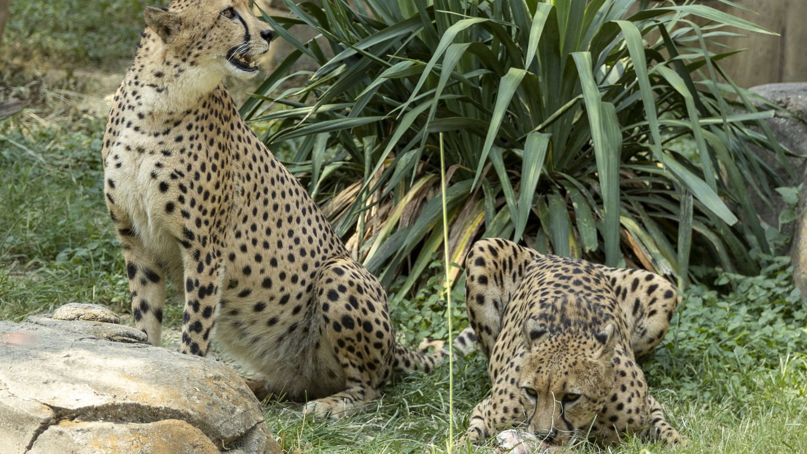 8-year-old cheetahs Finnick and Brutus snack on bones in the Wilds of Africa habitat at the Dallas Zoo on Wednesday, July 28, 2021. The zoo received the two brothers from The Wilds in Columbus, Ohio.