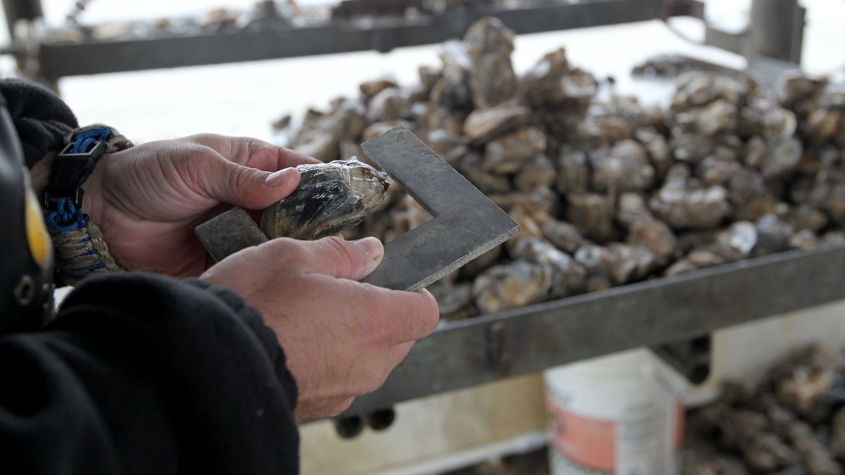 In this Dec. 2, 2014 photo, Texas Parks and Wildlife Game Warden Travis Fountain checks a sack of oysters aboard an oyster boat to make sure they are legal, in East Galveston Bay, Texas. State officials have recommended parts of Galveston Bay be closed to oyster harvesting amid concerns over immature mollusks being removed and reefs still recovering from 2008's Hurricane Ike. (AP Photo/The Galveston County Daily News, Jennifer Reynolds)