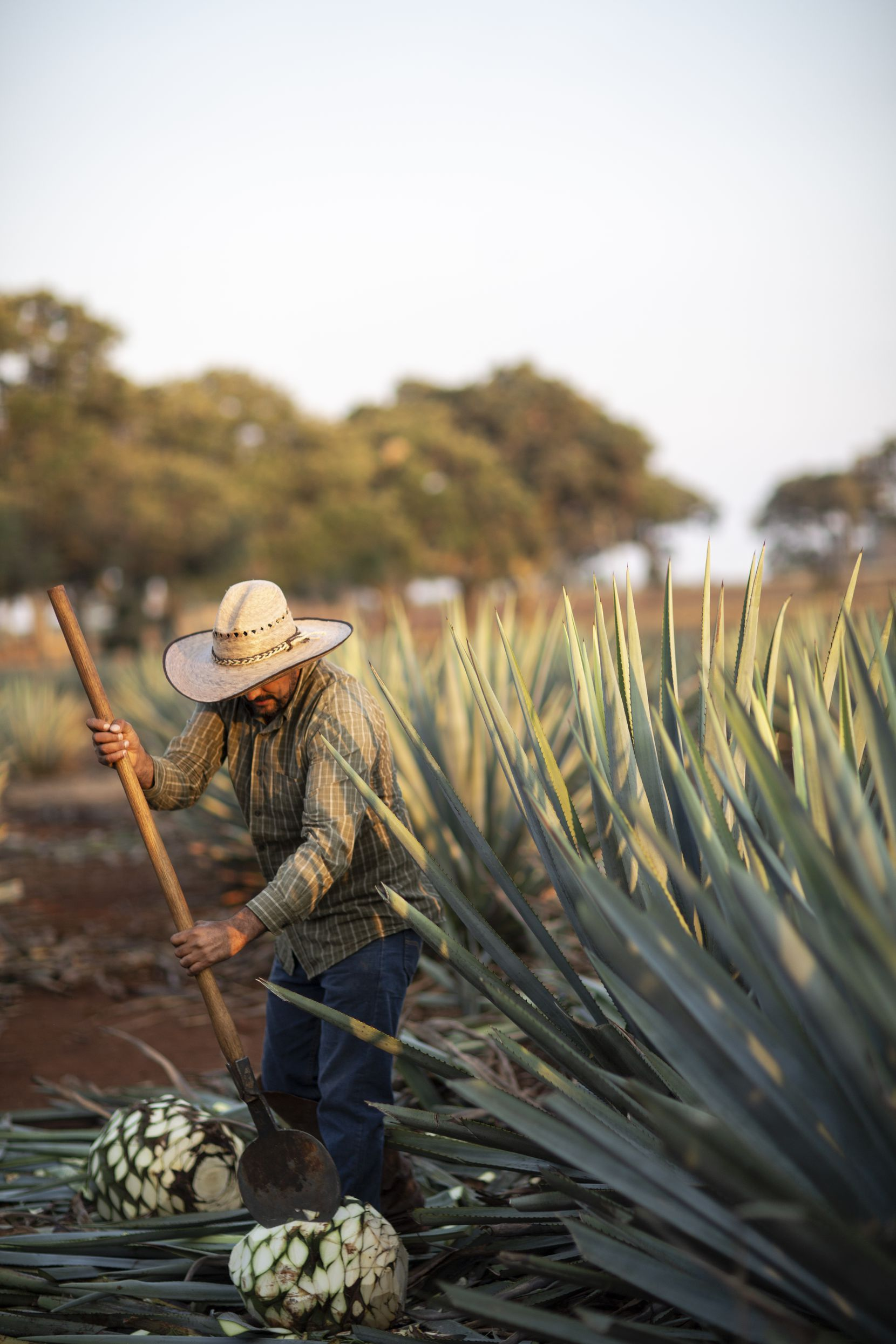 A jimador (Mexican farmer who harvests agave plants) works at La Altena Distillery in the Jalisco highlands.