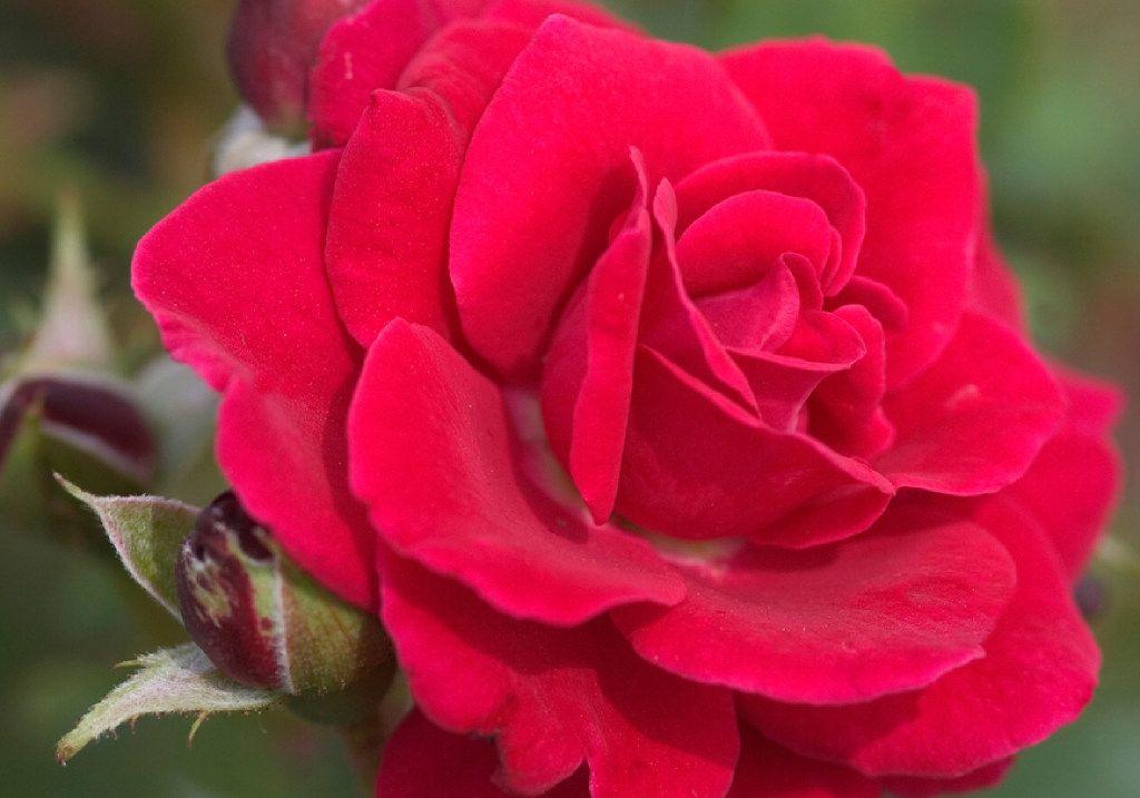 Super Hero, Easy Elegance Roses