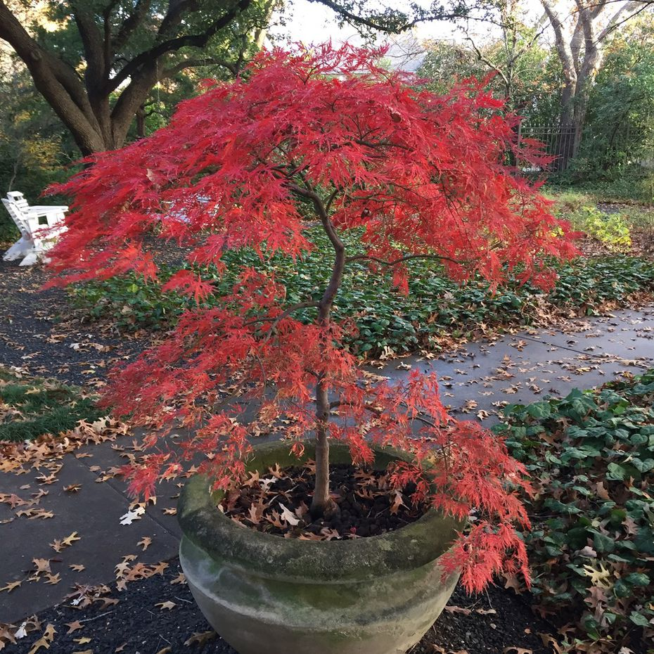 'Orangeola' is a spectacular cascading laceleaf Japanese maple that has remarkable leaf color in spring and fall. It can also stand some full sun.