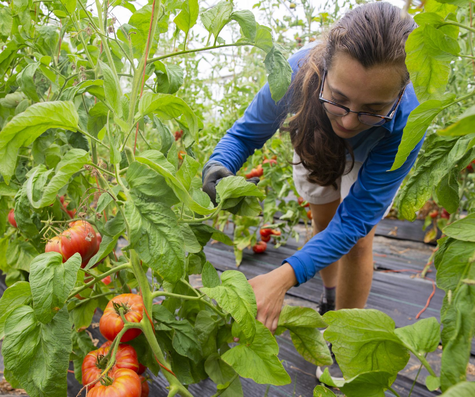 Master farm apprentice Allison Lopez-Bock tends the tomatoes at Misty Moon Farms in Argyle.