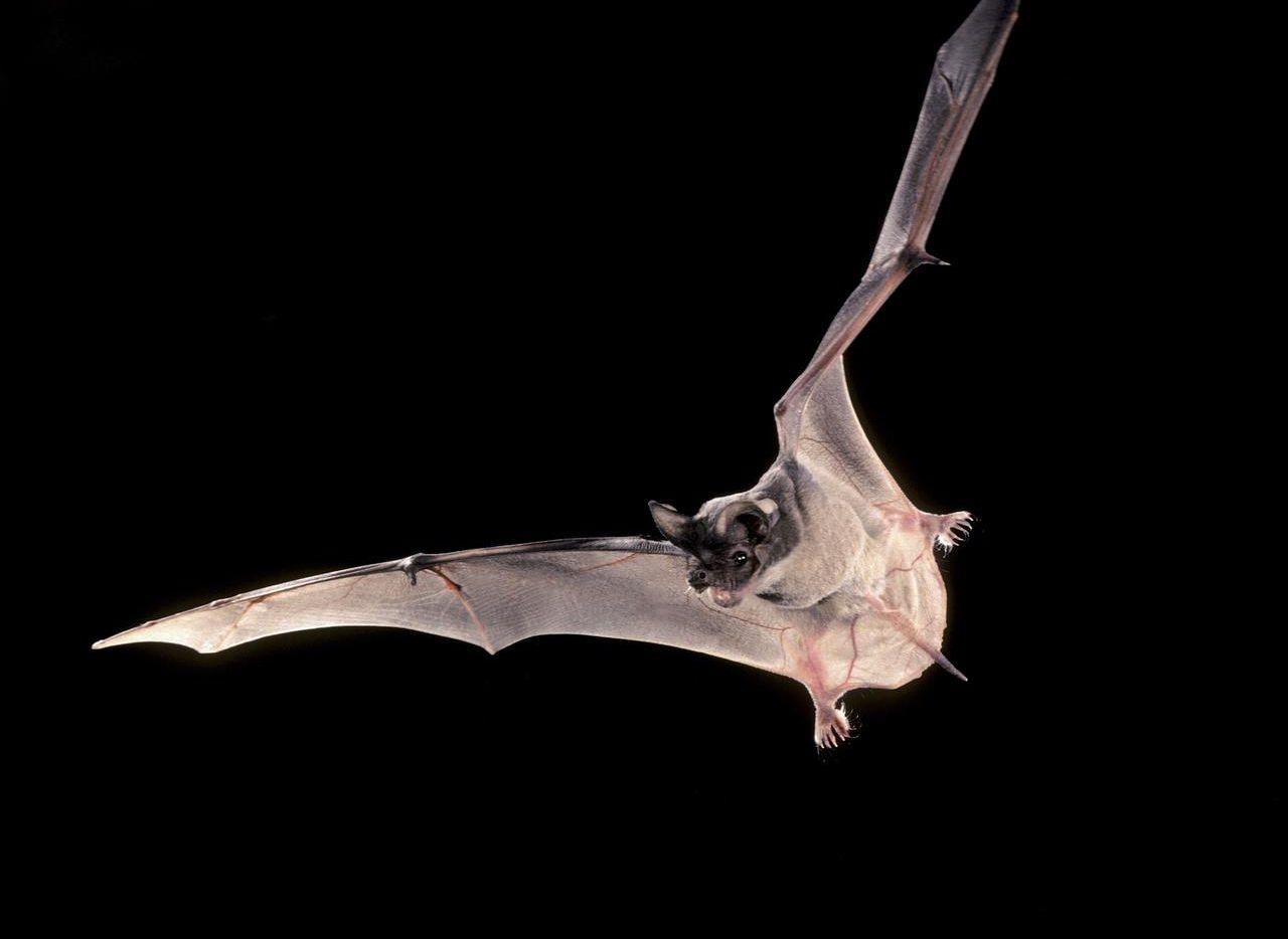 Un segundo murciélago fue hallado con rabia en Plano.