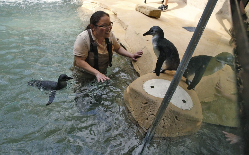 Bird keeper Kayla Hanada watches as the Dallas Zoo's brother-sister penguin chick pair, Opus and Moshi, take their first swim in Dallas on March 22, 2017.