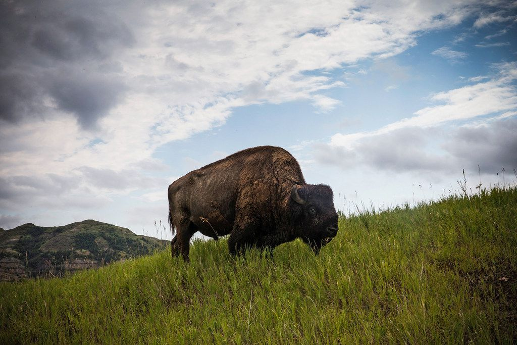 A buffalo grazes in Theodore Roosevelt National Park outside Watford City, N.D.
