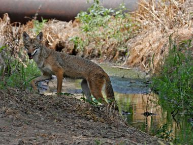 Fifteen coyote sightings have been reported in Frisco in the past 30 days.
