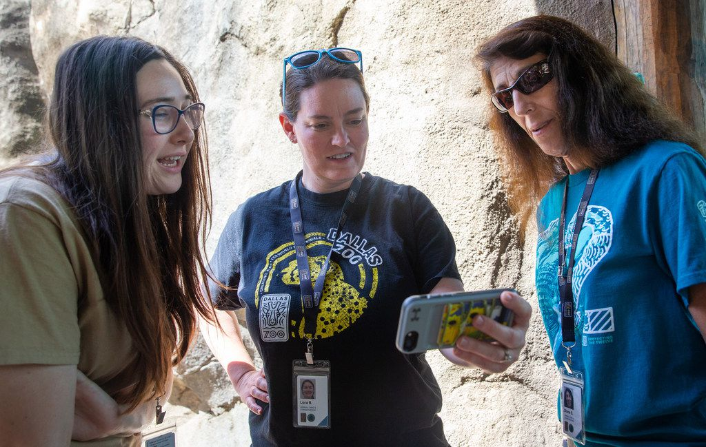Dallas Zoo education instructor Elizabeth Fletcher (left), carnivore supervisor Lora Baumhardt (center), and education instructor Diane Baxter watch live camera footage of the zoo's newest species, an African painted dog named Ola.