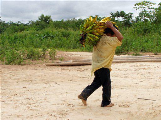 """Indígenas bolivianos tienen los corazones más sanos Por MARIA CHENG LONDRES (AP) — En lo profundo de la selva amazónica boliviana vive un pueblo indígena que se dedica a la caza y la agricultura, y sus corazones son de los más sanos en el planeta, dicen los investigadores. Los tsimane, una sociedad de cazadores-recolectores, tienen el menor nivel de obstrucción de arterias de cualquier otra población estudiada, según investigaciones recientes. Los científicos dicen que esto destaca la importancia de reducir los factores de riesgo para la insuficiencia cardíaca. Los tsimane pasan entre cuatro y siete horas diarias en actividad física y su dieta es baja en grasas y azúcares. No beben ni fuman con frecuencia. El tsimane de edad mediana tiene arterias que corresponden a un occidental 28 años menor"""", dijo el doctor Randall Thompson, cardiólogo del St. Luke's Health System de Kansas City, Missouri, uno de los jefes del estudio. El trabajo apareció el viernes en la edición digital de Lancet y fue presentado en una reunión del Colegio Estadounidense de Cardiología. Thompson y sus colegas trabajaron con antropólogos que estudian a los tsimane desde hace años. Es un grupo de unas 16.000 personas que habita las márgenes de un afluente del Amazonas. Los 705 participantes del estudio pasaron un día remando sus canoas y luego viajaron durante seis horas en jeep a la ciudad más próxima, donde los médicos escanearon sus corazones y midieron su estatura, ritmo cardíaco, presión arterial, colesterol y azúcar en sangre. A cambio de esto recibieron hilo, lana y otros regalos. Los resultados fueron comparados con los de una muestra de 6.800 estadounidenses. La conclusión fue que estos tienen cinco veces más probabilidades de sufrir insuficiencia cardíaca. Unos nueve de cada 10 tsimanes no están en riesgo de padecerla. Según Thompson, el estilo de vida tiene un papel más importante que la genética para evitar los males cardíacos. Dijo que a medida que los tsimane reciben alimentos proces"""