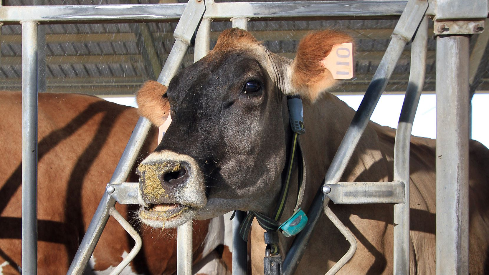 A dairy cow at the Tarleton State University's Southwest Regional Dairy Center in Stephenville wears a Fitbit-like monitoring device being tested by Texas A&M researchers.