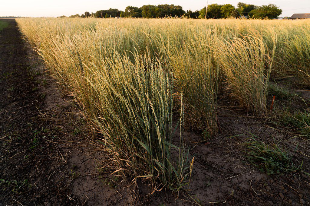 Kernza is a new grain developed by University of Minnesota's Department of Agronomy and Plant Genetics to be more sustainable.