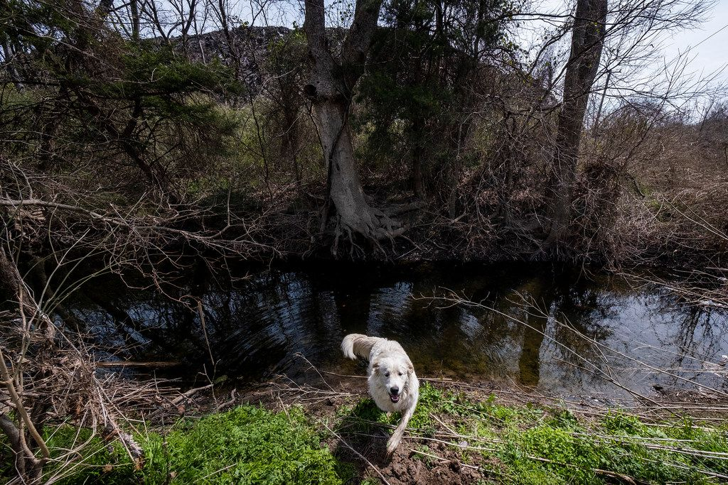 A neighborhood dog crosses a small creek that separates a mountain of shingles at Blue Star Recycling from the backyard of Marsha Jackson's home off South Central Expressway on Wednesday, March 6, 2019, in Dallas. (Smiley N. Pool/The Dallas Morning News)