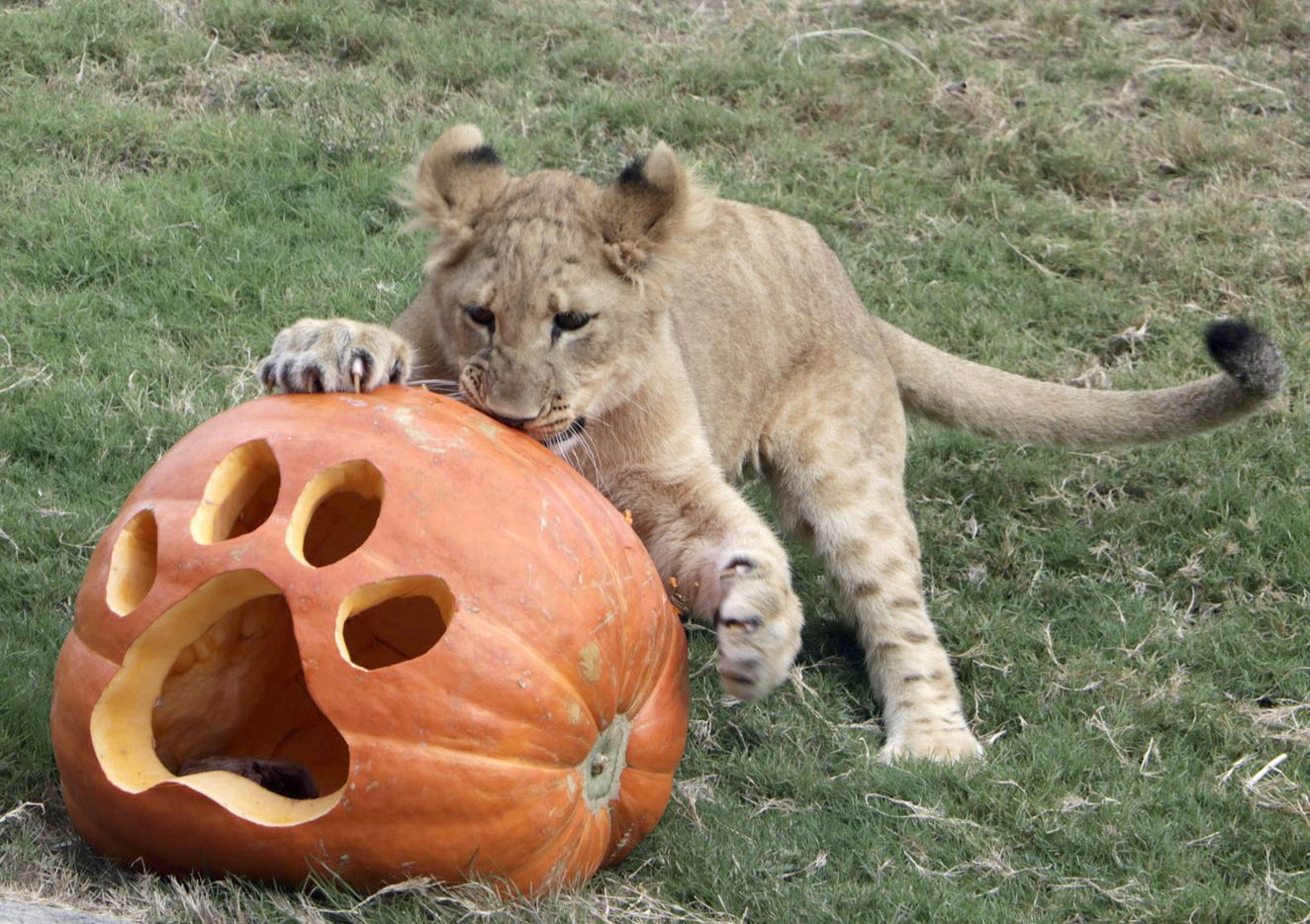 Animals at the Dallas Zoo celebrated Halloween on Tuesday, Oct. 31, 2017, with pumpkins, some filled with meaty treats or worms. Among the animals enjoying the pumpkins were lion cub Bahati.