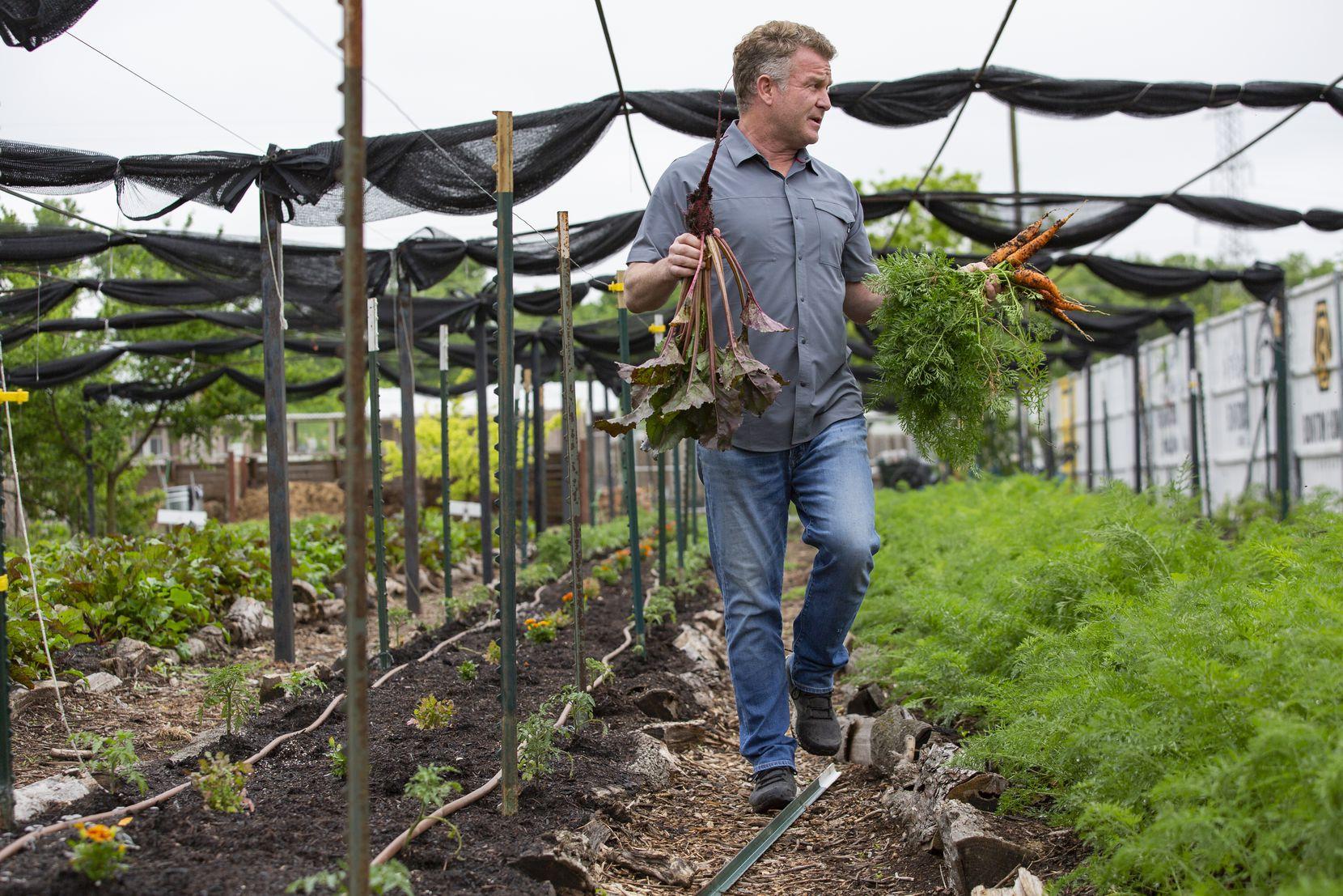 Daron Babcock, executive director of Bonton Farms, harvests carrots from the South Dallas farm.