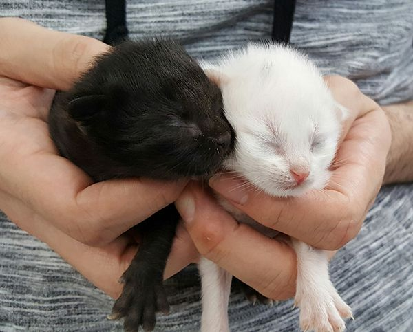 Week-old kittens brought to the shelter Sunday.